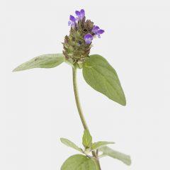 Kleine Braunelle - Prunella vulgaris