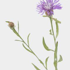 Flockenblume - Centaurea spec.