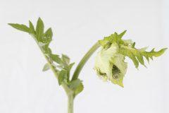 Kohl-Kratzdistel - Cirsium oleraceum