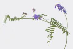 Vogel-Wicke - Vicia cracca