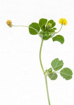 Kleiner Klee - Trifolium dubium