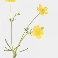 Scharfer Hahnenfuß - Ranunculus acris