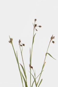 Hainsimse - Luzula div. spec.