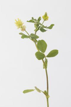 Feldklee - Trifolium campestre