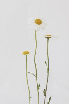 Margerite - Leucanthemum vulgare agg.