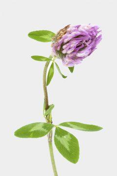 Rot-Klee - Trifolium pratense