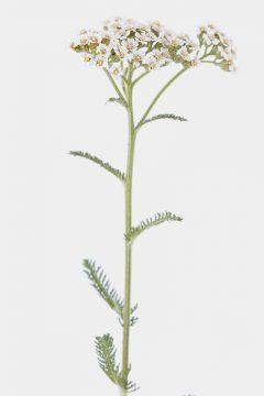 Gewöhnliche Schafgarbe - Achillea millefolium