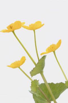 Sumpfdotterblume - Calta palustris